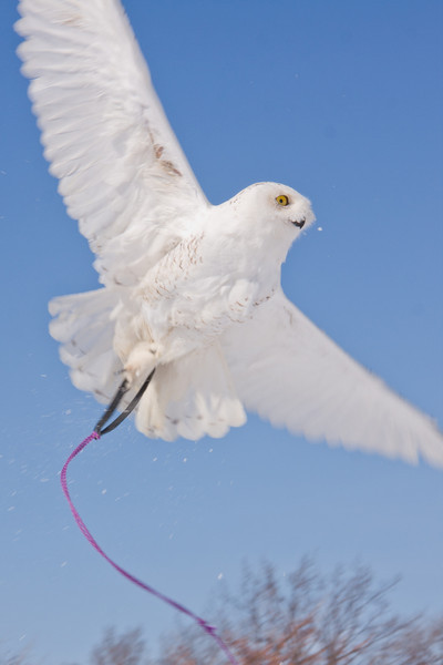 Test flying a Snowy Owl
