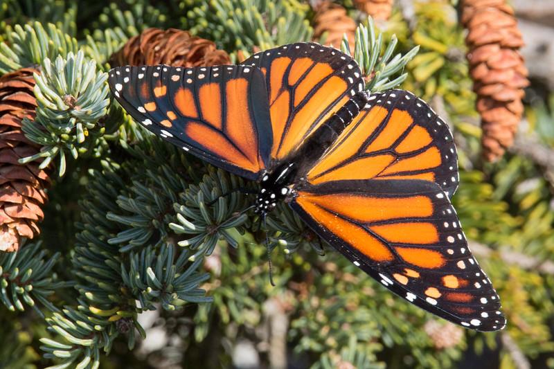 Monarch Acadia NP-2.jpg