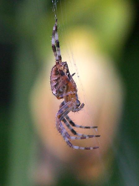 5863 Spider crop.jpg