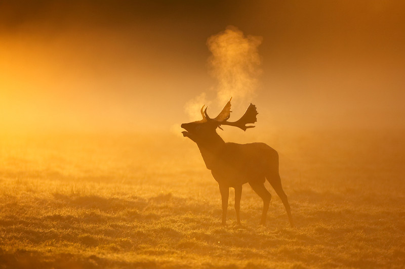 107 - Fallow Deer.jpg