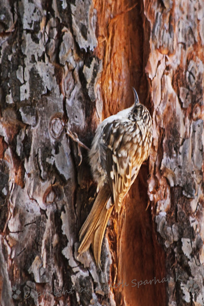 "Brown Creeper ~ On a trip to the mountains yesterday, I saw two of these cute little birds.  They were difficult to shoot, as they are constantly on the move, ""creeping"" up the pine tree trunks in search of insects for food, then flying to the next tree and starting over.  Very fun to watch."
