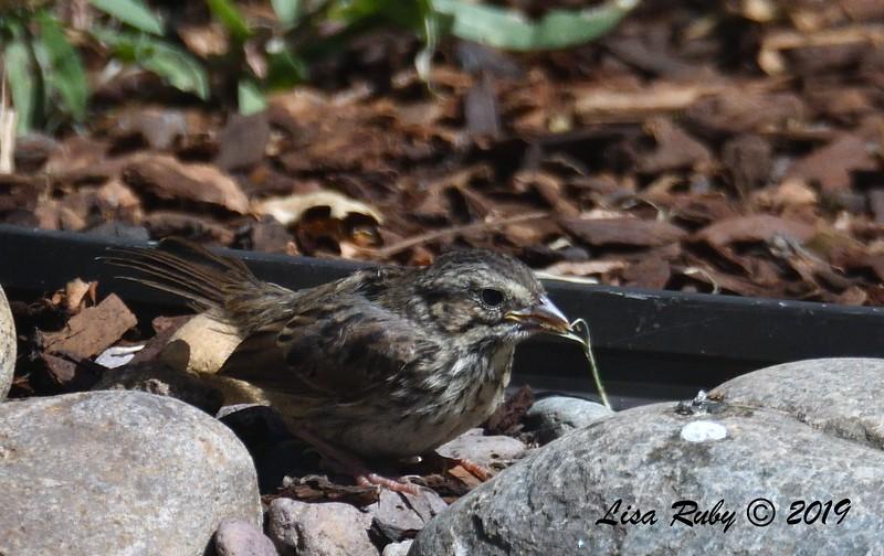 Juvenile Song Sparrow - 6/9/2019 - Backyard, Sabre Springs