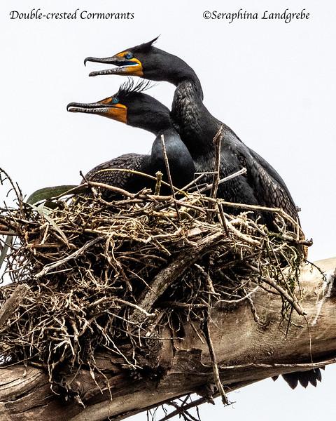 _DSC0251Two Double-crested Cormorants.jpg