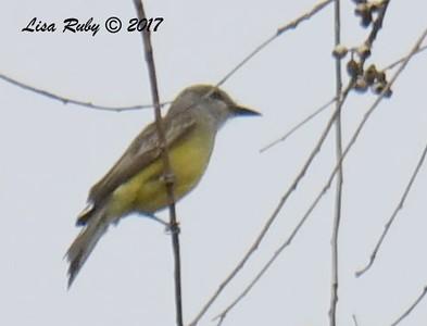 DSC_3537_Kingbird.jpg