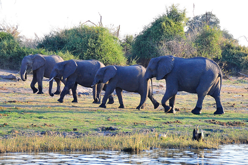 EPV0520 Four Elephants at the Chobe River.jpg
