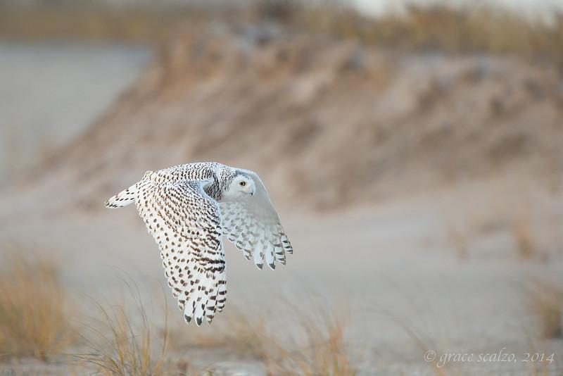 Snowy Owl DUne flyby_O8U6439.jpg