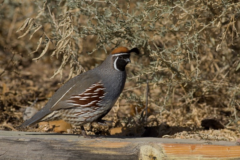 Male Gambel's Quail [December; Bosque del Apache National Wildlife Refuge, San Antonio, New Mexico]