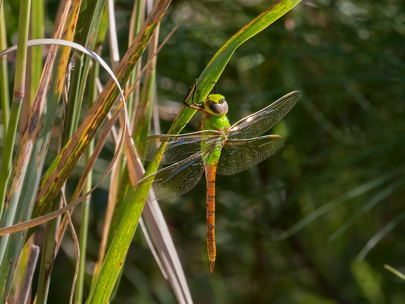 Common Green Darner, teneral male, Summit Bridge Ponds