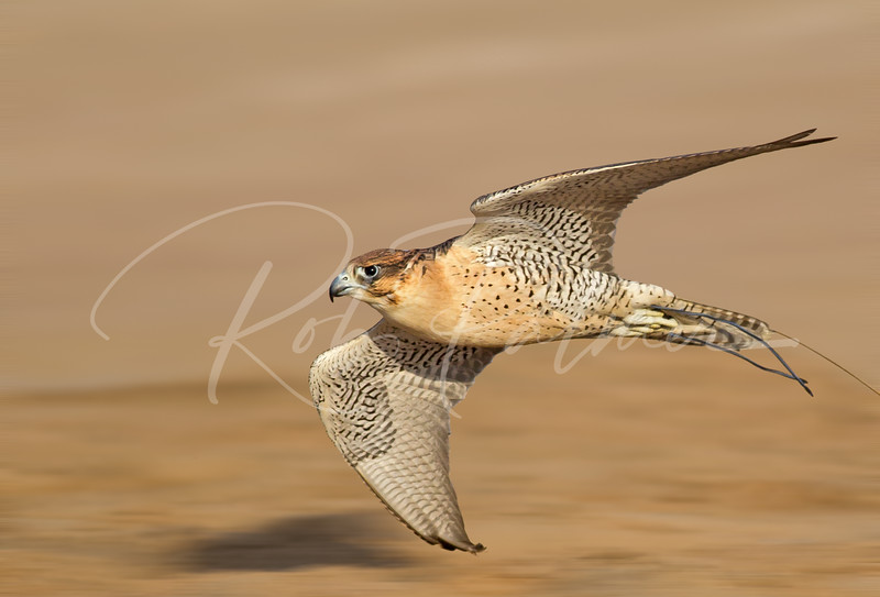 A Hybrid Falcon from United Arab Emirates