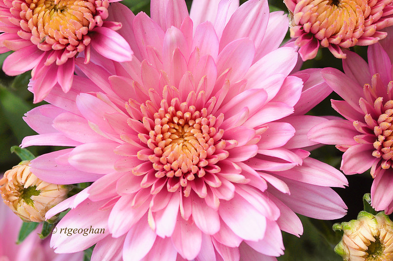 Sept 22_Pink Chrysanthemums_9175.jpg