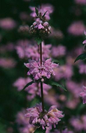 Phlomis tuberosa 'Amazone' close-up.jpg