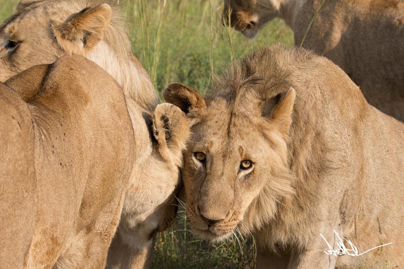 Lions Masai Mara - S-11.jpg