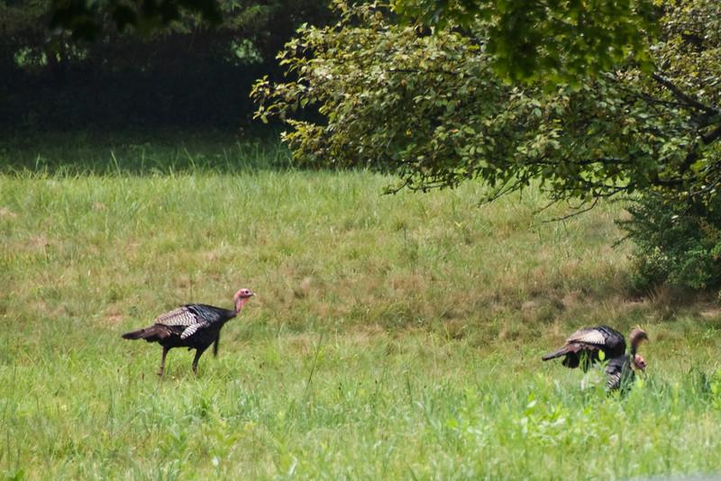 Turkeys 1.jpg