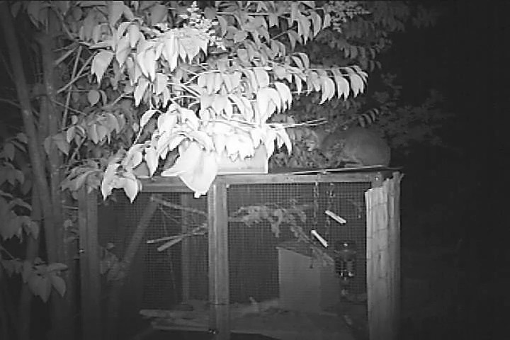 Bobcat trying to get into a squirrel foster care enclosure.