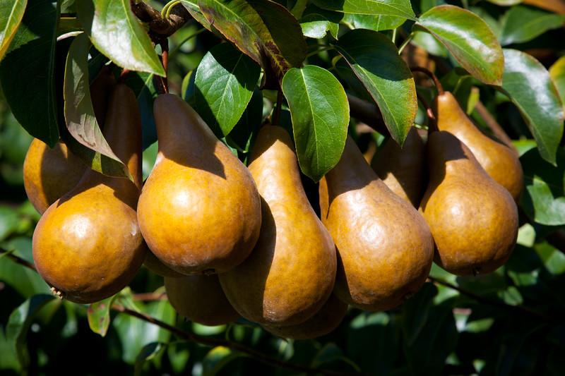 Fruit_Pears11-1002.jpg