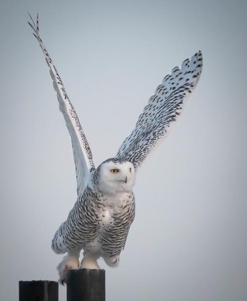 Snowy Owl wings high