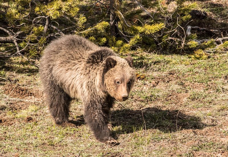 Grizzly sow Yellowstone National Park WY DSC06526.jpg