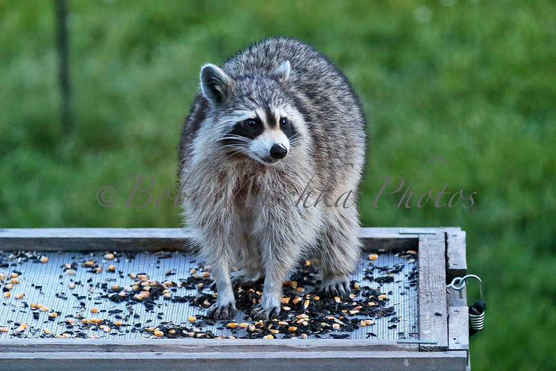Raccoon_0025.jpg