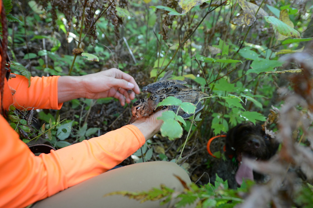 . Meadow Kouffeld-Hansen, regional biologist with the Ruffed Grouse Society, holds a woodcock she shot while Meine, her 4-year-old Deutsche Drahthaar that pointed,flushed and retrieved the bird, looks on in Itasca County in northern Minnesota Saturday, Sept. 19, 2015, opening day for grouse and woodcock hunting in Minnesota.(Pioneer Press: Dave Orrick)