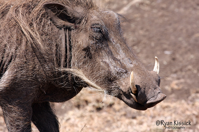 Warthog foraging for food