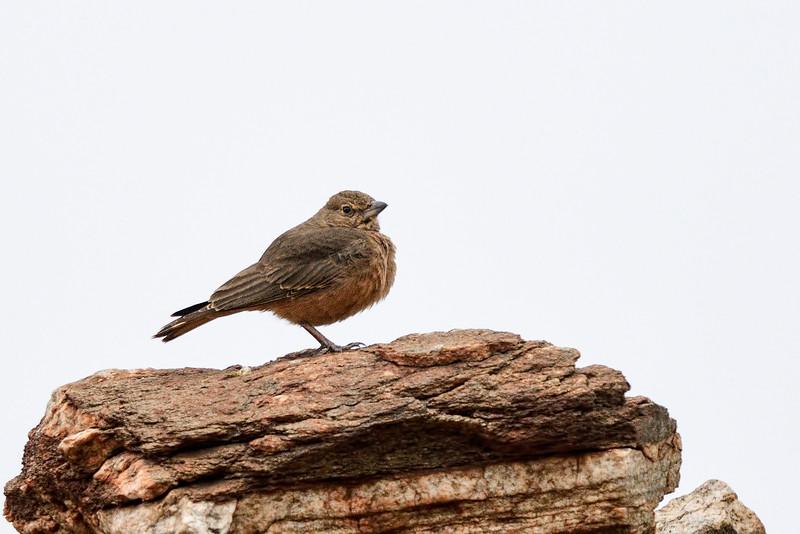 Rufous-tailed-lark-hampi.jpg