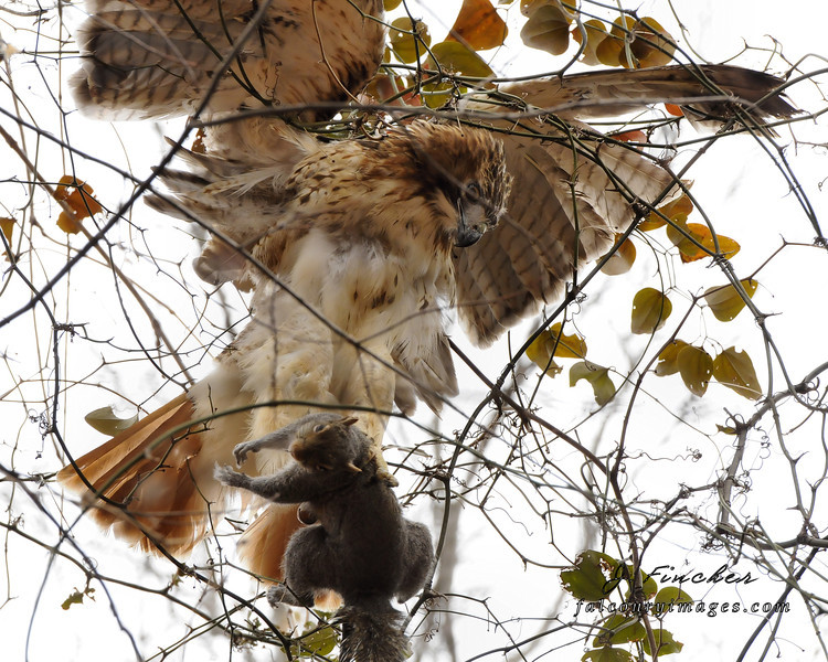 redtail hawk catching squirrel2.jpg