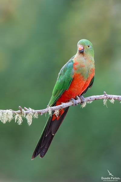 Australian King Parrot (Juvenile Male)