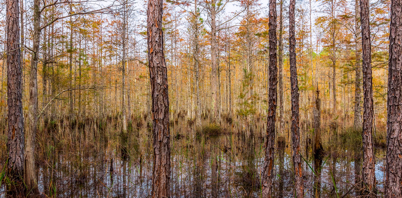 Cypress Dome Swamp in the autumn at Split Oak Forest