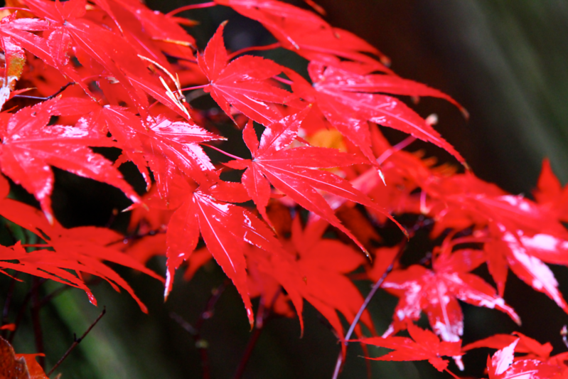 japanese maple  5158.png