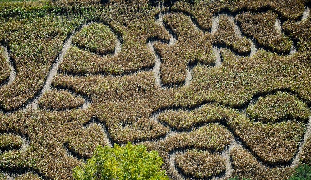 . A corn maze, seen from the air. (Pioneer Press: Ben Garvin)