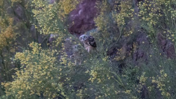 Look Mnt Owl 5-20-20 Phoenix AZ