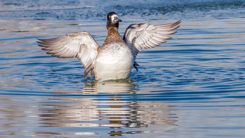 00 0070 Ring Neck Duck Female 0020 16x9.jpg