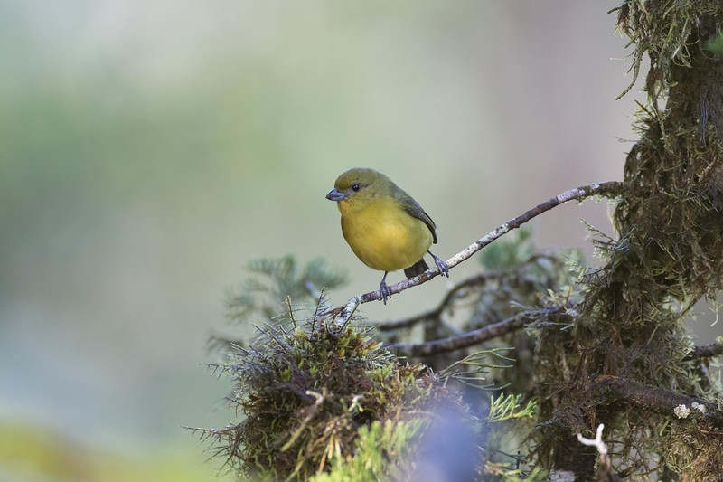 Yellow-throated euphonia, female