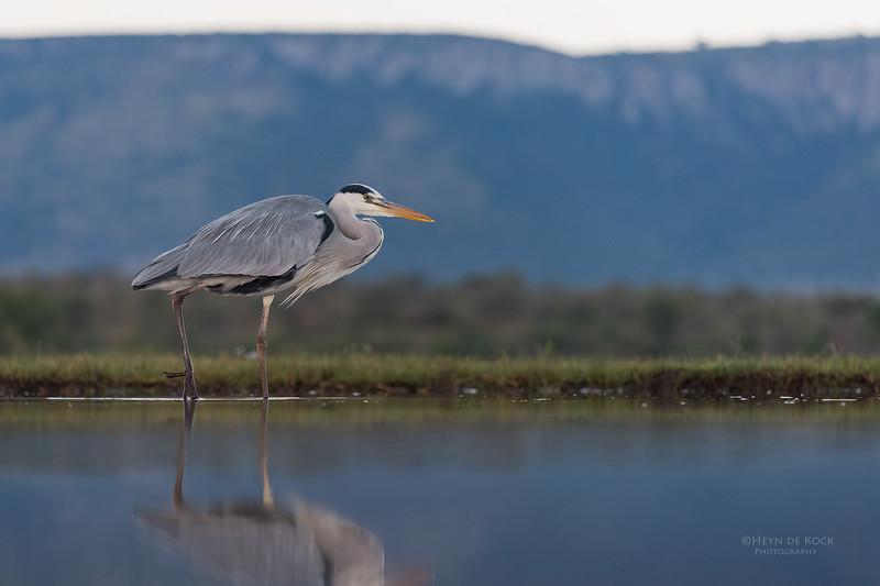 Grey Heron, Zimanga, South Africa, May 2017-16.jpg