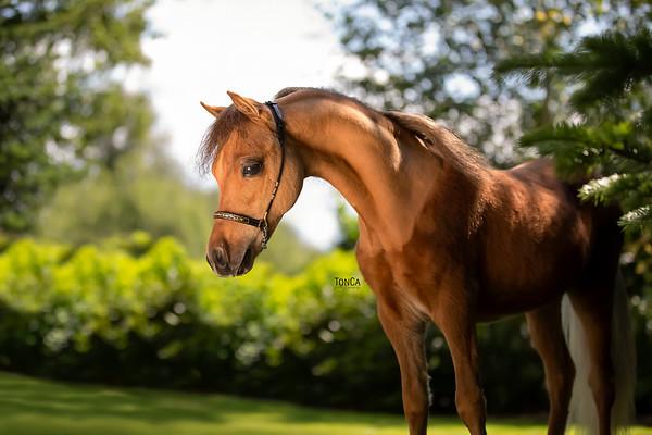 Highland Horses