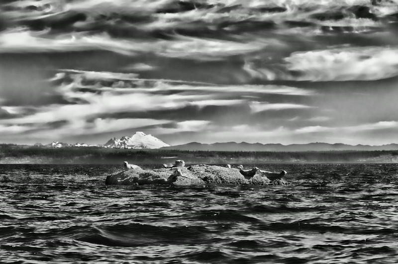 "02 Sep 14.  Today's B&W submission might also come under the category of Thursday's theatrical approach in that I've modified one aspect of it just for fun. This is another shot taken on the trip with the cherubs out to Matsmats inlet on the day the outboard decided to give us a little concern. This shot was one I got while it was still running, and was just shortly before it quit for the better part of an hour, perhaps longer. Hard to keep track of time when you are having fun. The seals had been watching us rather intently, some on the rock, some in the water at a distance, and several more in the water quite near us while the outboard was not playing nice. Once we got it running again the close in group gave us some space and we motored over to the rock and made a 360 around it. In so doing all but one of the critters decided that being in the water was a better option than being ""on the rock"", and each, in turn, as we neared them, slipped into the water. The tide was running against us as we tried to enter Matsmats cove and the wind was doing its best to give us a little challenge as well. There was also a fair amount of cloud cover that was being blown around by the wind but not sufficiently so for the ""effect"" I wanted in this image, so I've ""blown"" on it some to give it a more wind swept look, like that of the '57 Dodge, for those of you who can remember back that far. And obviously I've converted it to B&W, otherwise, it is pretty much right out of the camera. Nikon D300s; 18 - 200; Aperture Priority; ISO 200; 1/640 sec @ f / 9."