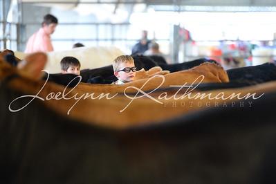 Open Cattle Ringshots - Crossbred