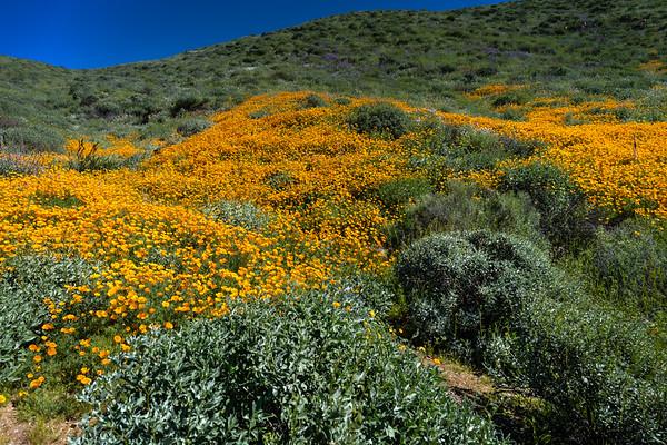 Diamond Lake Wild Flowers
