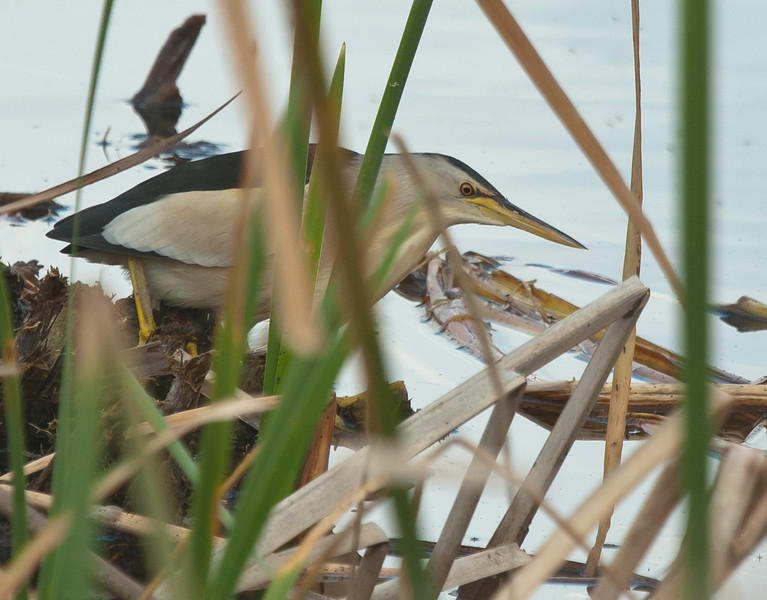 Little Bittern - Woudaapje