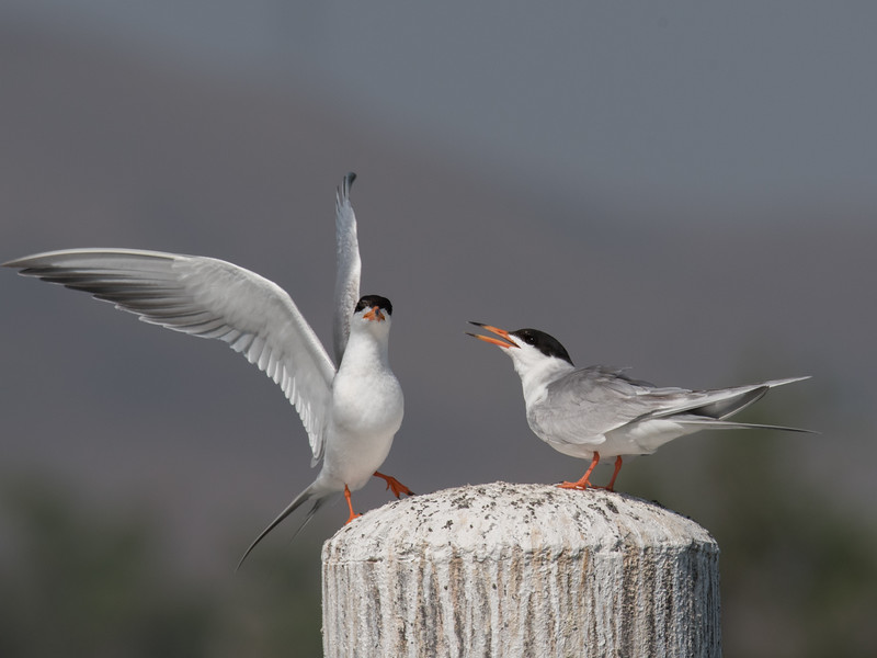 Forster's Tern taking off after feeding its grown chick.
