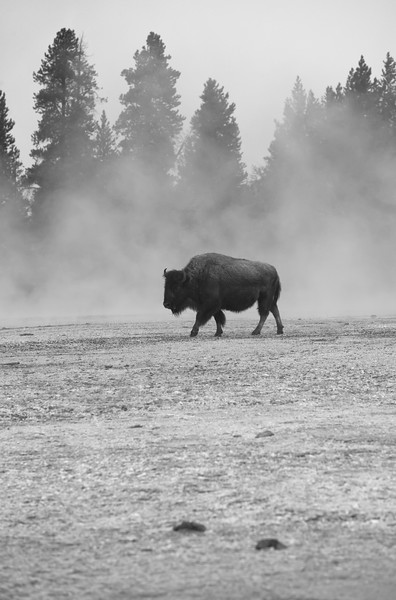 Solo Bison I