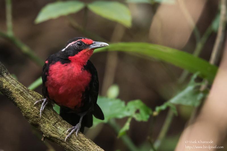 Rosy Thrush-Tanager - Gamboa Rainforest Resort, Gamboa, Panama