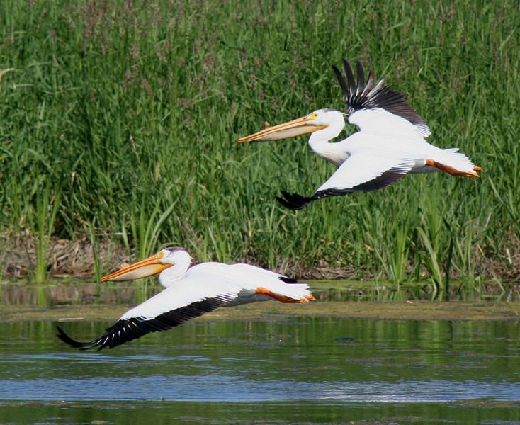 pelican wingers.jpg