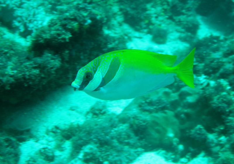 IMG_7435Ar_Barred Rabbitfish (Siganus doliatus).JPG