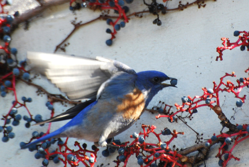 Western Bluebird (2).JPG