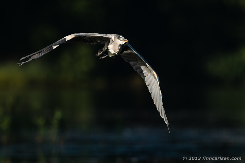 Fiskehejre (Ardea cinerea - Grey Heron)