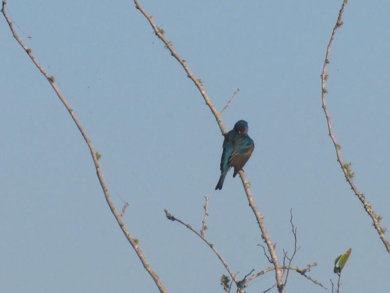 Blue Groesbeak or Indigo Bunting?
