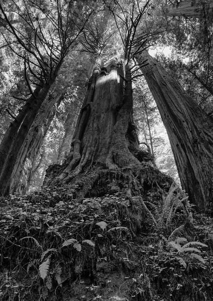 19-12-31 redwoods 0012-66-HDR-Pano.jpg
