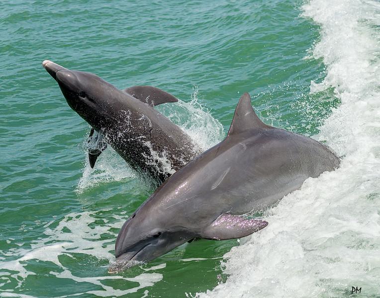 Dolphin_8286_6244.jpg