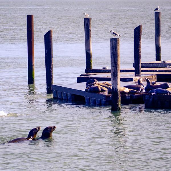 California sea lions along the pier
